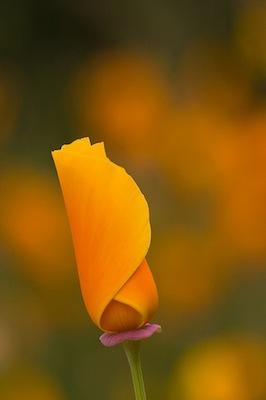 California poppy facts photos and surprises natural history poppy close up berkeley ca mightylinksfo