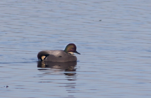 Falcated Duck at Colusa Wildlife Refuge  by Sandy Steinman (Jan. 15, 2012)