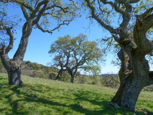 Mt. Burdell Oaks