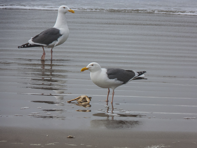 Two Western Gulls and a Crab