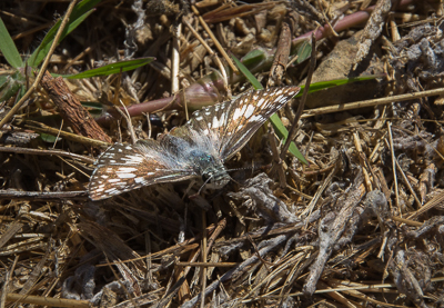 Common Checkered Skipper (male)