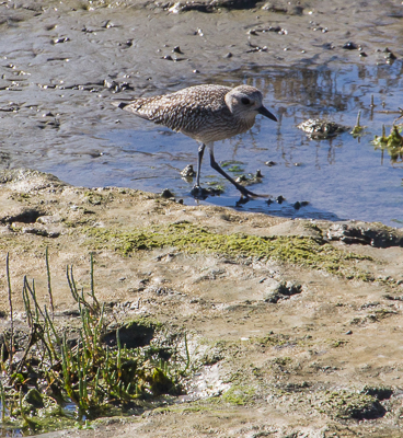 Black-bellied Plover in winter plumage