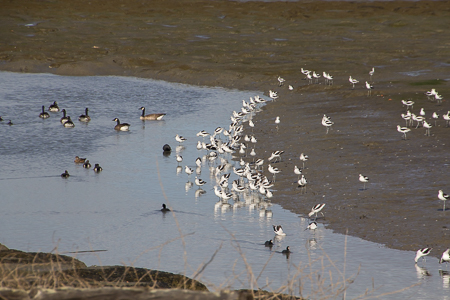 Avocet, American Coot, Canada Goose, Dowitcher