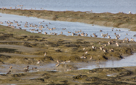 American Wigeon, Green Wing Teal, American Coot,Northern Shoveler, Willet