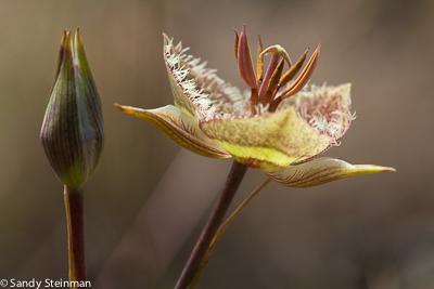 Tiburon Mariposa Lily/Calochorus tiburonensis