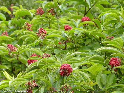 Red elderberry/Sambucus racemosa