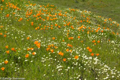 California Poppy/Eschscholzia californica and Cream Cups/Platystemon californicus