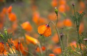 Wind Poppy/Stylomecon heterophylla
