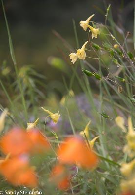 Yellow Larkspur/Delphinium luteum