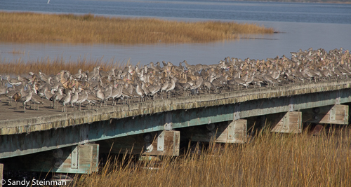 Willets and Marbled Godwits