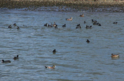 Coots and American Wigeon