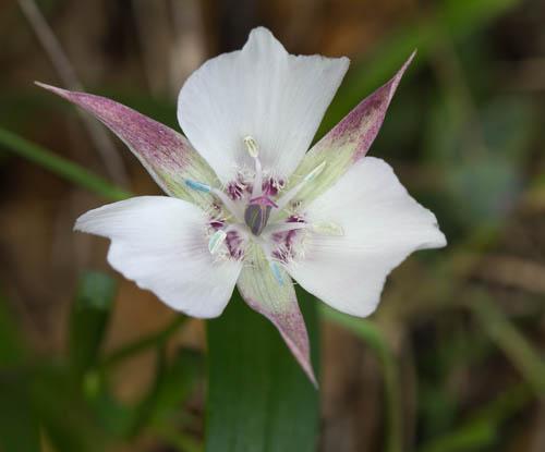Oakland Star Tulip/Calochortus umbellatus