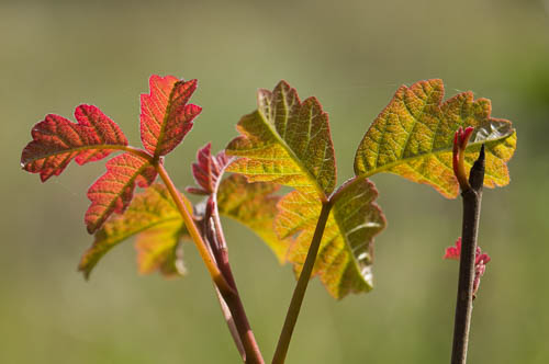 Poison Oak/Toxicodendron diversilobum