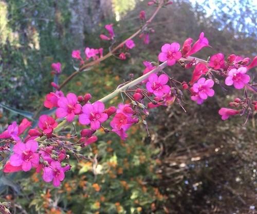 terrystoneparryspenstemon6001